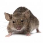 Mice Control Hertfordshire