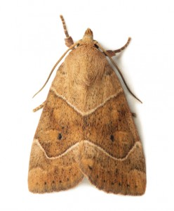 Moth Removal Stanstead Abbotts