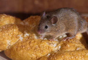 Mice Removal Dunstable